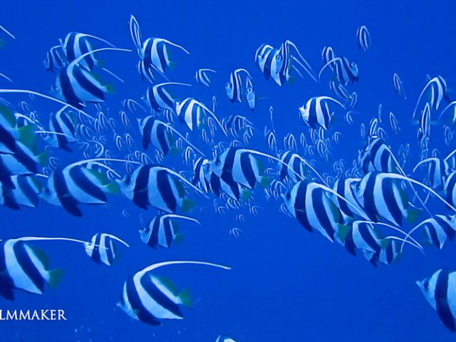 """The """"Butterflyfish"""" are a group of conspicuous tropical marine fish of the family """"Chaetodontidae""""; the """"Bannerfish and """"Coralfish"""" are also included in this group. The approximately 129 species in 12 genera are found mostly on the reefs of the Atlantic, Indian, and Pacific Oceans. A number of species pairsoccur in the Indian and Pacific Oceans, members of the huge genus Chaetodon. Butterflyfish look like smaller versions of angelfish (Pomacanthidae), but unlike these, lack preopercle spines at the gill covers. Some members of the genus Heniochus resemble the Moorish idol (Zanclus cornutus) of the monotypic Zanclidae. Among the paraphyletic Perciformes, the former are probably not too distantly related to butterflyfish, whereas the Zanclidae seem far less close. Most species feed on coral polyps and sea anemones. (Wikipedia)"""