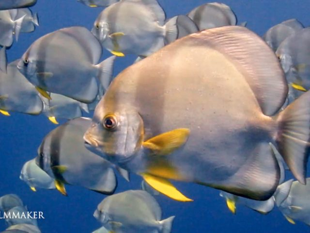 """""""Platax"""" is a genus of Indo-Pacific, reef-associated fish belonging to the family Ephippidae, commonly known as """"Batfish"""". Adults are rather disc-shaped fish, with laterally compressed bodies and large dorsal and anal fins that give individuals a somewhat triangular profile. Platax teira is the largest species, reaching lengths of around 70 centimetres (28 in).[3] The other species reach maximum lengths of around 40–65 cm (16–26 in). Platax can be found in reefs throughout the entire Indo-Pacific region, their range extends from the western Indian Ocean in the Red Sea to as far east as Australia. They are most common around reefs and shipwrecks. (Wikipedia)"""