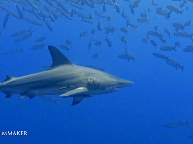 """Or """"Oceanic Blacktip"""" (Carcharhinus limbatus) is a species of requiem shark, and part of the family Carcharhinidae. Not to be confused with the blacktip reef shark. It is common to coastal tropical and subtropical waters around the world, including brackish habitats. Genetic analyses have revealed substantial variation within this species, with populations from the western Atlantic Ocean isolated and distinct from those in the rest of its range. The blacktip shark has a stout, fusiform body with a pointed snout, long gill slits, and no ridge between the dorsal fins. Most individuals have black tips or edges on the pectoral, dorsal, pelvic, and caudal fins. It usually attains a length of 1.5 m (4.9 ft). Swift, energetic piscivores, blacktip sharks are known to make spinning leaps out of the water while attacking schools of small fish. Their demeanor has been described as """"timid"""" compared to other large requiem sharks. Both juveniles and adults form groups of varying size. Like other members of its family, the blacktip shark is viviparous. Fish make up some 90% of the blacktip shark's diet. A wide variety of fish have been recorded as prey for this species: sardines, herring, anchovies, ladyfish, sea catfish, cornetfish, flatfish, threadfins, mullet, mackerel, jacks, groupers, snook, porgies, mojarras, emperors, grunts, butterfish, tilapia, triggerfish, boxfish, and porcupinefish. (Wikipedia)"""