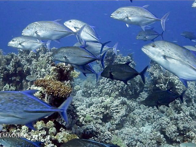 The bluefin trevally, Caranx melampygus (also known as the bluefin jack, bluefin kingfish, bluefinned crevalle, blue ulua, omilu and spotted trevally), is a species of large, widely distributed marine fish classified in the jack family, Carangidae. The bluefin trevally is distributed throughout the tropical waters of the Indian and Pacific Oceans, ranging from Eastern Africa in the west to Central America in the east, including Japan in the north and Australia in the south. The species grows to a maximum known length of 117 cm and a weight of 43.5 kg, however is rare above 80 cm. Bluefin trevally are easily recognised by their electric blue fins, tapered snout and numerous blue and black spots on their sides. It is similar in shape to a number of other large jacks and trevallies, having an oblong, compressed body with the dorsal profile slightly more convex than the ventral profile, particularly anteriorly. The bluefin trevally inhabits both inshore environments such as bays, lagoons and shallow reefs, as well as deeper offshore reefs, atolls and bomboras. It is a strong predatory fish, with a diet dominated by fish and supplemented by cephalopods and crustaceans as an adult. Juveniles consume a higher amount of small crustaceans, but transfer to a more fish based diet as they grow. The species displays a wide array of hunting techniques ranging from aggressive midwater attacks, reef ambushes and foraging interactions with other larger species, snapping up any prey items missed by the larger animal. (Wikipedia)