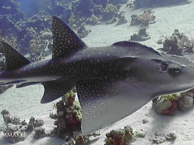 """The """"Bowmouth Guitarfish"""" (Rhina ancylostoma), also called the """"Shark Ray"""" or """"Mud Skate"""", is a species of ray and a member of the family Rhinidae. Its evolutionary affinities are not fully resolved, though it may be related to true guitarfish and skates. This rare species occurs widely in the tropical coastal waters of the western Indo-Pacific, at depths of up to 90 m (300 ft). Highly distinctive in appearance, the bowmouth guitarfish has a wide and thick body with a rounded snout and large shark-like dorsal and tail fins. Its mouth forms a W-shaped undulating line, and there are multiple thorny ridges over its head and back. It has a dorsal color pattern of many white spots over a bluish gray to brown background, with a pair of prominent black markings over the pectoral fins. This large species can reach a length of 2.7 m (8.9 ft) and weight of 135 kg (298 lb). Usually found near the sea floor, the bowmouth guitarfish prefers sandy or muddy areas near underwater structures. It is a strong-swimming predator of bony fish, crustaceans, and molluscs. (Wikipedia)"""