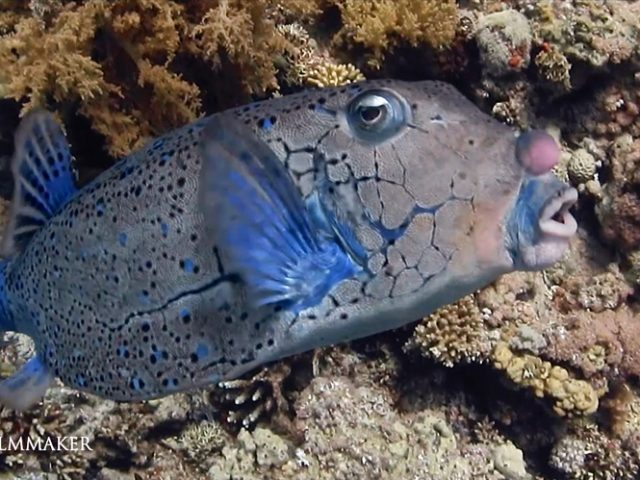 """""""Ostraciidae"""" is a family of squared, bony fish belonging to the order Tetraodontiformes, closely related to the pufferfish and filefish. Fish in the family are known variously as """"Boxfish"""", """"Cofferfish"""", """"Cowfish"""" and """"Trunkfish"""". It contains about 23 extant species in 6 extant genera. Members of this family occur in a variety of different colors, and are notable for the hexagonal or """"honeycomb"""" patterns on their skin. They swim in a rowing manner. Their hexagonal plate-like scales are fused together into a solid, triangular or box-like carapace, from which the fins, tail, eyes and mouth protrude. Because of these heavy armoured scales, Ostraciidae are limited to slow movements, but few other fish are able to eat the adults. Although the adults are in general quite square in shape, young Ostraciidae are more rounded; the young often exhibit brighter colors than the adults. Boxfish occur in the Atlantic, Indian, and Pacific oceans, generally at middle latitudes. (Wikipedia)"""
