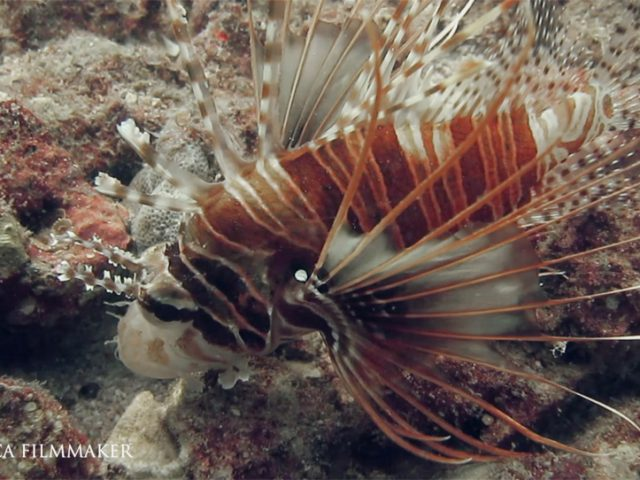 The clearfin lionfish (Pterois radiata), also called the tailbar lionfish, radiata lionfish, fireworks fish or radial firefish, is a carnivorous, ray-finned fishwith venomous spines that lives in the Indian and western Pacific Oceans. This is the only lionfish species which has spines without any markings. It can also be recognized by the pair of horizontal white stripes on its caudal peduncle. It grows to a length of about 24 cm (9 in), though a more usual size is 20 cm (8 in). The dorsal fin has 12 or 13 long, venomous spines and 10 to 12 soft rays. The large pectoral fins flare out to the side and are clear and unbanded. The head and body colour is reddish-brown with about six vertical dark bands of different colour on the body separated by thin white lines. Two white horizontal lines occur on the caudal peduncle which distinguishes this fish from other similar lionfishes. Clearfin lionfish are native to the western Indo-Pacific region. Its range extends from South Africa and the Red Sea to Indonesia, the Society Islands, the Ryukyu Islands, northern Australia and New Caledonia. It is found on both inshore and offshore rocky reefs at depths to about 25 m (82 ft). This species is mainly nocturnal, it spends the day hiding in rock crevices, in small caves or under overhangs; it emerges at night to feed on invertebrates such as crabs and shrimps. (Wikipedia)