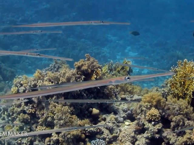 """The """"Cornetfish"""" or """"Flutemouths"""" are a small family, the """"Fistulariidae"""", of extremely elongated fish in the order Syngnathiformes. The family consists of a single genus, """"Fistularia"""", with four species, found worldwide in tropical and subtropical marine environments. Ranging up to 200 cm (6.6 ft) in length, cornetfish are as thin and elongated as many eels, but are distinguished by very long snouts, distinct dorsal and anal fins, and forked caudal fins whose center rays form a lengthy filament. The lateral line is well-developed and extends onto the caudal filament. They generally live in coastal waters or on coral reefs, where they feed on small fish, crustaceans, and other invertebrates. (Wikipedia)"""