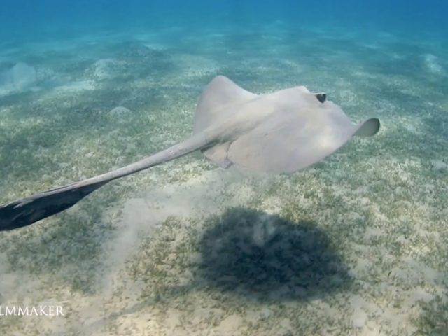 """The """"Cowtail Stingray"""" (Pastinachus sephen) is a species of stingray in the family """"Dasyatidae"""", it has a widespread distribution in the tropical waters of the Indo-Pacific, from South Africa and the Red Sea to Japan and Australia, including Melanesia and Micronesia. The most distinctive characteristic of the cowtail stingray is the large, flag-like ventral fold on its tail, which is especially prominent when the ray is swimming. They are usually found on sandy bottoms in coastal waters and on coral reefs to a depth of 60 meters (200 feet). The pectoral fin disk of the cowtail stingray is very thick, with almost straight anterior margins and rounded apices, and measuring 1.1-1.3 times as long as wide. The snout is broadly rounded and blunt, the eyes are very small and widely spaced and the mouth is narrow, with 20 rows of distinctive hexagonal, high-crowned teethin each jaw and five papillae on the mouth floor. The tail is broad-based, with a filamentous tip and a single venomous spine located well backwards of the pelvic fins. This species may reach 3 meters (9.8 feet) long and 1.8 meters (5.9 feet) across, and 250 kg (550 lb) in weight. (Wikipedia)"""