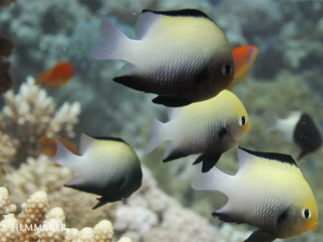Dascyllus marginatus (marginate dascyllus or Red Sea dascyllus) is a damselfish from the Western Indian Ocean, Red Sea and the Gulf of Oman. Its common size is 5 centimetres. Adults are usually associated with the corals Stylophora pistillata, Stylophora wehisi, species of Acropora and Porites. Monogamous, oviparous; eggs are demersal and adhere to the substrate, males guard and aerate the eggs. (Wikipedia)