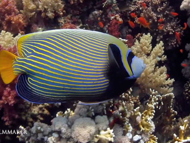 """The """"Emperor Angelfish"""" (Pomacanthus imperator) is a species of marine angelfish. It is a reef-associated fish, native to the Indian and Pacific Oceans, from the Red Sea to Hawaii and the Austral Islands; this species is generally associated with stable populations and faces no major threats of extinction. It dwells in reef-associated areas at depths ranging from 1–100 m. Emperor angelfish is omnivorous, feeding on both small invertebrates and plants, sponges and algae make up its primary diet; the fish has bulky, strong jaws for chewing up the sponges, which are made up of tiny, needle-like pieces of silica. Adults have yellow and blue stripes, its size is about 40 cm (15.75 in) in length. (Wikipedia)"""
