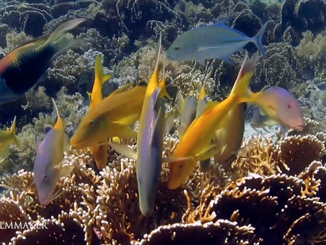 """""""Goldsaddle Goatfish"""" or """"Yellowsaddle Goatfish"""", """"Parupeneus Cyclostomus"""", is a species of goatfish native to the Indo-Pacific. This fish is usually colored yellow with a bluish sheen to the dorsal part, but with a golden yellow variant. It can reach 50 cm (20 in) in total length, though most do not exceed 35 cm (14 in). It occurs solitarily or in groups, in all areas of the coral reefs and detrital bottom area from 1 to 95 m deep. It uses its barbels to probe holes and force out prey. It is found in the Indo-Pacific from the Red Sea to South Africa, the Hawaiian Islands, and the Ryukyu Islands. (Wikipedia)"""