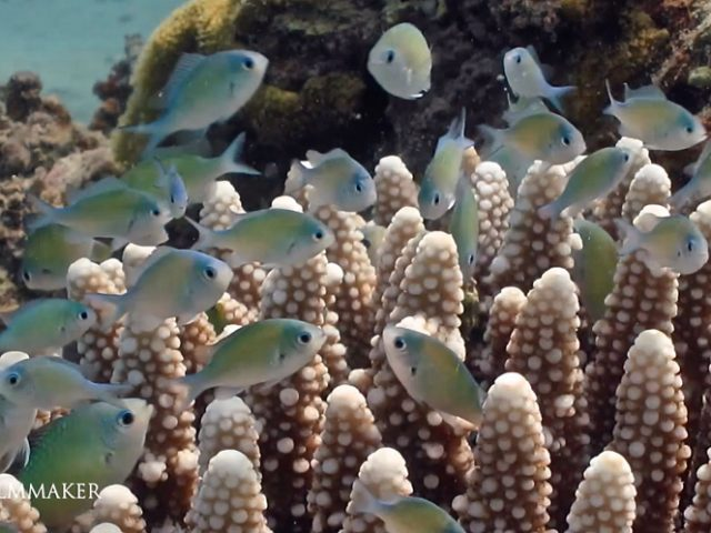 """""""Chromis Viridis"""" is a species of damselfish. Individuals tend to be iridescent apple-green and light blue, and reach a maximal length of 10 cm. it is sometimes called the """"Blue-Green Chromis"""", but that may also refer to Chromis caerulea, the blue puller, a close relative that is sometimes considered conspecific. The species is found in the Indo-Pacific, including the Red Sea. It is found in tropical and subtropical waters. In the Indian Ocean, eastern Africa, Madagascar, Seychelles, the Persian Gulf, the Arabian Sea, the Maldives, Sri Lanka, the Andaman Sea, Australia, and Indonesia. In the Pacific Ocean, they are found in the Gulf of Thailand, Indonesia, the Philippines, China, Taiwan, Japan, the Great Barrier Reef, New Zealand, New Caledonia, Polynesia, Melanesia, and Hawaii in the Indo-Pacific part of the Pacific Ocean. In the eastern Pacific Ocean, they are found from the Gulf of California south to Peru and the Galapagos Islands. There are some reports of this species in the Mediterranean Sea. They live in coral reefs and lagoons. Individuals of this species are encountered in depths of 1 to 12 metres (3.3 to 39.4 ft). They have 12 dorsal rays, 9 to 11 soft dorsal rays, 2 anal spines, and 9 to 11 anal soft rays on their fins. It is a blue green fish. When they are breeding, males turn more yellowish. Phytoplankton, zooplankton, and algae, copepods, Artemia and amphipods make up the diet of this fish in the wild. This fish also feeds on eggs that fail to hatch. It feeds by ram jawing. The green chromis is not housed with larger predatory fish, as they may become food themselves. Groupers, lionfish, and eels all present an element of danger for this species. They live in aggregations around Acropora coral heads. (Wikipedia)"""