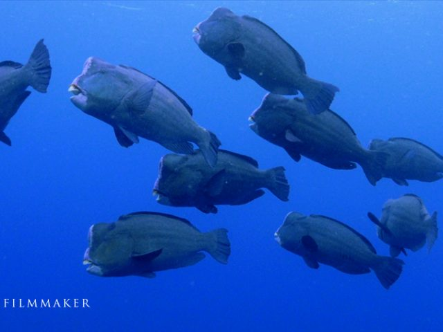 The green humphead parrotfish (Bolbometopon muricatum) is the largest species of parrotfish, growing to lengths of 1.5 m (4.9 ft) and weighing up to 75 kg (165 lb). Other common names include bumphead parrotfish, humphead parrotfish, double-headed parrotfish, buffalo parrotfish and giant parrotfish. It is found on reefs in the Indian and Pacific Oceans, from the Red Sea in the west to Samoa in the east, and from the Yaeyama Islands in the north to the Great Barrier Reef, Australia, in the south. Unlike wrasses, it has a vertical head profile, and unlike other parrotfishes, it is uniformly covered with scales except for the leading edge of the head, which is often light green to pink. The adult develops a bulbous forehead and the teeth plates are exposed, being only partly covered by lips. The species is slow-growing and long-lived (up to 40 years), with delayed reproduction and low replenishment rates. This species is gregarious and usually occurs in small aggregations, but group size can be quite large on seaward and clear outer lagoon reefs, exceeding 75 individuals. (Wikipedia)