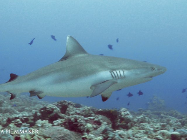 """The """"Grey Reef Shark"""" (Carcharhinus amblyrhynchos, sometimes misspelled amblyrhynchus or amblyrhinchos) is a species of requiem shark, in the family Carcharhinidae. One of the most common reef sharks in the Indo-Pacific, it is found as far east as Easter Island and as far west as South Africa. This species is most often seen in shallow water near the drop-offs of coral reefs. The grey reef shark has the typical """"reef shark"""" shape, with a broad, round snout and large eyes. This species can be distinguished from similar species by the plain or white-tipped first dorsal fin, the dark tips on the other fins, the broad, black rear margin on the tail fin, and the lack of a ridge between the dorsal fins. Most individuals are less than 1.9 m (6.2 ft) long. Grey reef sharks are fast-swimming, agile predators that feed primarily on free-swimming bony fish and cephalopods. Their aggressive demeanor enables them to dominate many other shark species on the reef, despite their moderate size. Many grey reef sharks have a home range on a specific area of the reef, to which they continually return. However, they are social rather than territorial. During the day, these sharks often form groups of five to 20 individuals near coral reef drop-offs, splitting up in the evening as the sharks begin to hunt. Adult females also form groups in very shallow water, where the higher water temperature may accelerate their growth or that of their unborn young. Like other members of its family, the grey reef shark is viviparous, meaning the mother nourishes her embryos through a placental connection. Litters of one to six pups are born every other year. Grey reef sharks feed also squid and octopus being the second-most important food group, and crustaceans such as crabs and lobsters making up the remainder. These sharks hunt individually or in groups, and have been known to pin schools of fish against the outer walls of coral reefs for feeding. (Wikipedia)"""