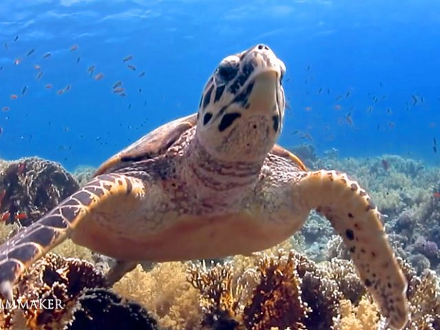 """The """"Hawksbill Sea Turtle"""" (Eretmochelys imbricata) is a critically endangered sea turtle belonging to the family """"Cheloniidae"""". It is the only extant species in the genus """"Eretmochelys"""". The species has a worldwide distribution, with Atlantic and Indo-Pacific subspecies. The hawksbill's appearance is similar to that of other marine turtles. In general, it has a flattened body shape, a protective carapace, and flipper-like limbs, adapted for swimming in the open ocean. Adult hawksbill sea turtles typically grow to 1 m (3 ft) in length, weighing around 80 kg (180 lb) on average. It is easily distinguished from other sea turtles by its sharp, curving beak with prominent tomium, and the saw-like appearance of its shell margins. Hawksbill shells slightly change colors, depending on water temperature. While this turtle lives part of its life in the open ocean, it spends more time in shallow lagoons and coral reefs. While they are omnivorous, sea sponges are their principal food; they constitute 70–95% of the turtles' diets. The World Conservation Union, primarily as a result of Human fishing practices, classifies E. imbricata as critically endangered. Hawksbill shells were the primary source of tortoiseshell material used for decorative purposes. The Convention on International Trade in Endangered Species outlaws the capture and trade of hawksbill sea turtles and products derived from them. (Wikipedia)"""
