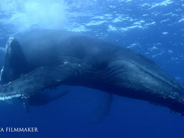 The humpback whale (Megaptera novaeangliae) is a species of baleen whale. It is one of the larger rorqual species, with adults ranging in length from 12–16 m (39–52 ft) and weighing around 25–30 metric tons (28–33 short tons). The humpback has a distinctive body shape, with long pectoral fins and a knobbly head. It is known for breaching and other distinctive surface behaviors, making it popular with whale watchers. Males produce a complex songlasting 10 to 20 minutes, which they repeat for hours at a time. All the males in a group will produce the same song, which is different each season. Its purpose is not clear, though it may help induce estrus in females. Found in oceans and seas around the world, humpback whales typically migrate up to 25,000 km (16,000 mi) each year. They feed in polar waters and migrate to tropical or subtropical waters to breed and give birth, fasting and living off their fat reserves. Their diet consists mostly of krill and small fish. Humpbacks have a diverse repertoire of feeding methods, including the bubble net technique. Like other large whales, the humpback was a target for the whaling industry. The species was once hunted to the brink of extinction; its population fell by an estimated 90% before a 1966 moratorium. While stocks have partially recovered to some 80,000 animals worldwide, entanglement in fishing gear, collisions with ships and noise pollution continue to affect the species. (Wikipedia)