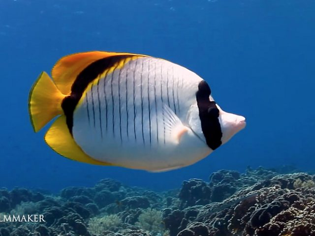 """The """"Lined Butterflyfish"""" (Chaetodon lineolatus) is a butterflyfish (family Chaetodontidae), one of the largest species in the genus Chaetodon. They have a wide range from the Red Sea to South Africa and as far east as southern Japan and Hawaii. Lined butterflyfish may grow up to 30 cm (nearly 12 in) long. They are white in color, with thin black vertical bars which join a thick black band at the base of the tail and dorsal fin. The tail, dorsal, and anal finsare yellow. This uncommon fish is found in pairs or swimming alone or occasionally in spawning aggregations. It occurs between 2 and 50 m depth, in coral-rich areas of reefs and lagoons. Coral polyps, small anemones, algae and invertebrates make up their diet. (Wikipedia)"""