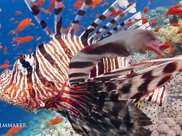 """""""Red Lionfish"""" (Pterois volitans) is a venomous coral reef fish in the family Scorpaenidae, order Scorpaeniformes. It is natively found in the Indo-Pacific region, but has become an invasive problem in the Caribbean Sea, as well as along the East Coast of the United States. This and a similar species, Pterois miles, have both been deemed invasive species. Red Lionfish are clad in white stripes alternated with red/maroon/brown stripes. Adults in this species can grow as large as 47 cm (18.5 in) in length, making it one of the largest species of lionfish in the ocean, while juveniles are typically shorter than 1 inch (2.5 cm). The average red lionfish lives around 10 years. As with many species within the family Scopaenidae, it has large, venomous spines that protrude from the body, similar to a mane, giving it the common name lionfish. The venomous spines make the fish inedible or deter most potential predators. (Wikipedia)"""