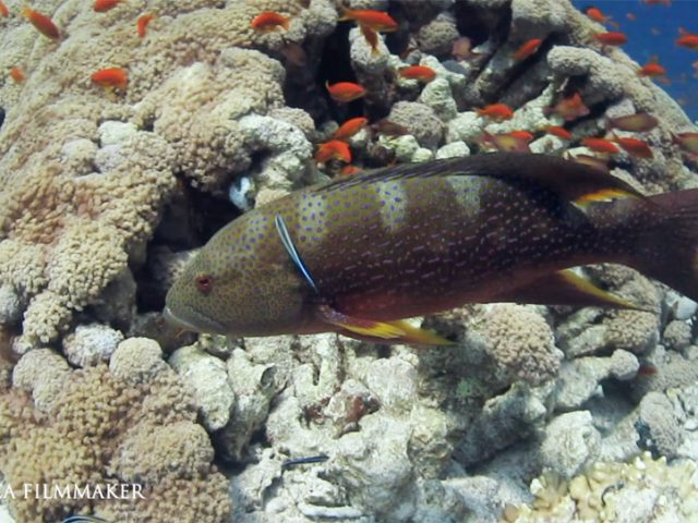 The yellow-edged lyretail (Variola louti) also known as the yellowedge coronation trout , fairy cod, lunar tail rock cod, lunartailed cod, lyre-tail codor moontail seabass,, is a species of marine ray-finned fish, a grouper from the subfamily Epinephelinae which is part of the family Serranidae, which also includes the anthias and sea basses. It is found in the Indo-Pacific region is commoner than the congeneric white-edged lyretail. They have a reddish colour on the upper body which frequently shades to orangish to white on the lower part of the body ; they are marked with many small bluish or pinkish spots on the head, body and fins. The rear margins of the fins are yellow. It has an Indo-Pacific distribution and is found from the east coast of Africa where it occurs from Durban in South Africa to the Red Sea through the tropical Indian Ocean east into the Pacific Ocean where it occurs as far north as southern Japan, south to Australia and east to the Pitcairn Islands. This grouper is normally observed in clear-water areas at depths greater than 15 metres (49 ft) but less than 350 metres (1,150 ft), showing a preference for islands and offshore reefs over continental shores. It feeds mostly on fish, as well as on crabs, shrimps and stomatopods. (Wikipedia)