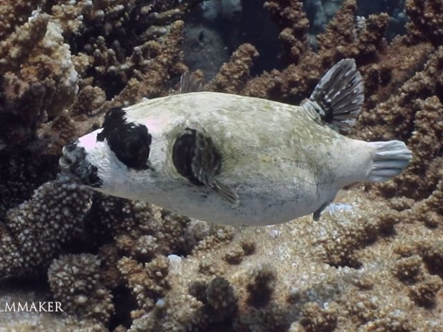 """The """"Masked Puffer"""" (Arothron diadematus) is a pufferfish in the family """"Tetraodontidae"""". It lives in the Red Sea only. Maximum length 30 cm, olive-green/grey with a black mask over the eyes and pectoral fins, mouth has a black border. Usually solitary but schools during mating period. It lives on the coral reefs, from surface to 20m depth. (Wikipedia)"""