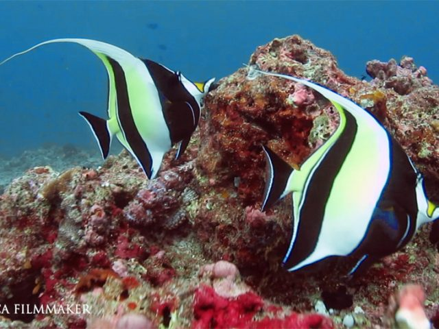 The Moorish idol (Zanclus cornutus) is a marine fish species, the sole extant representative of the family Zanclidae in order Perciformes. A common inhabitant of tropical to subtropical reefs and lagoons, the Moorish idol is notable for its wide distribution throughout the Indo-Pacific. The Moorish idol got its name from the Moors of Africa, who purportedly believed the fish to be a bringer of happiness. With distinctively compressed and disk-like bodies, Moorish idols stand out in contrasting bands of black, white and yellow, which makes them attractive to aquarium keepers. The fish have relatively small fins, except for the dorsal fin, whose six or seven spines are dramatically elongated to form a trailing, sickle-shaped crest called the philomantis extension. Moorish idols have small terminal mouths at the end of long, tubular snouts; many long bristle-like teeth line the mouth. Generally denizens of shallow waters, they prefer flat reefs. Their range includes East Africa, the Indian Ocean, Persian Gulf and the Ducie Islands; Hawaii, southern Japan, and all of Micronesia; they are also found from the southern Gulf of California south to Peru. Sponges, coral polyps, tunicates, and other benthic invertebrates constitute the bulk of the Moorish Idol. (Wikipedia)