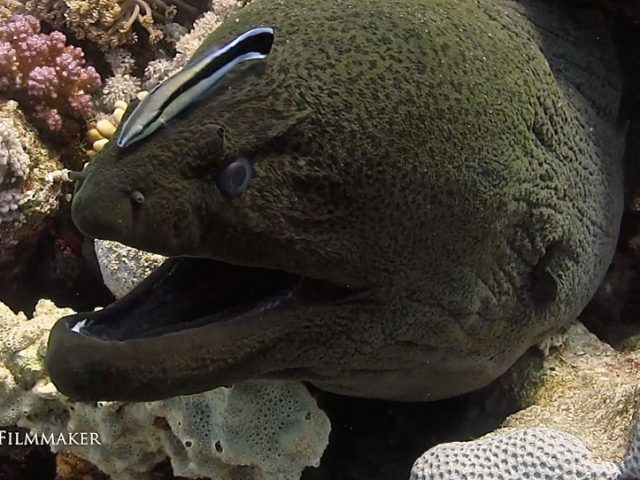 """""""Moray eels"""" or """"Muraenidae"""", are a family of eels whose members are found worldwide. The approximately 200 species in 15 genera are almost exclusively marine, but several species are regularly seen in brackish water, and a few are found in fresh water. The dorsal fin extends from just behind the head along the back and joins seamlessly with the caudal and anal fins. Most species lack pectoral and pelvic fins, adding to their serpentine appearance. Their eyes are rather small; morays rely mostly on their highly developed sense of smell, lying in wait to ambush prey. The body is generally patterned. In some species, the inside of the mouth is also patterned. Their jaws are wide, framing a protruding snout. Most possess large teeth used to tear flesh or grasp slippery prey items. """"Cleaner fish"""" are fish that provide a service to other species by removing dead skin and ectoparasites. The cleaning symbiosis is an example of mutualism, an ecological interaction that benefits both parties involved. The best known cleaner fish are the cleaner wrasses of the genus Labroides found on coral reefs in the Indian Ocean and Pacific Ocean. These small fish maintain so-called cleaning stations where other fish, known as hosts, congregate and perform specific movements to attract the attention of the cleaner fish. (Wikipedia)"""