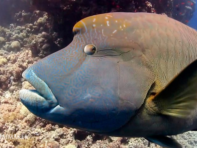 """The """"Humphead Wrasse"""" (Cheilinus undulatus) is a species of wrasse mainly found on coral reefs in the Indo-Pacific region. It is also known as the """"Māori Wrasse"""", """"Napoleon Wrasse"""", """"Napoleon Fish"""". It is the largest living member of the family Labridae. Males are typically larger than females and are capable of reaching lengths of up to 2 meters from tip to tail and weighing up to 180 kg, but the average length is generally a little less than 1 meter. Females rarely grow larger than one meter in length. This species of fish can be easily identified by its large size, thick lips, two black lines behind its eyes, and the hump that appears on the forehead of larger adults. The color of the humphead wrasse can vary between a dull blue-green to more vibrant shades of green and purplish-blue. This particular reef fish prefers to live singly but adults are occasionally observed moving in small groups. The humphead wrasses can be located with in the east coast of Africa and Red Sea, as well as in the Indian Ocean to the Pacific Ocean. Juvenile and adult humphead wrasses are found in different ranges. Juveniles are usually found in shallow, sandy ranges that are bordering coral reef waters, while adults are mostly found in offshore and deeper areas of the coral reefs, typically in outer-reef slopes and channels, but can also be found in lagoons. Humphead wrasses are found in small groups or larger combinations within their habitat. It mainly eats invertebrates such as mollusks (particularly gastropods and pelecypods), echinoids, crustaceans, annelids and fish. (Wikipedia)"""