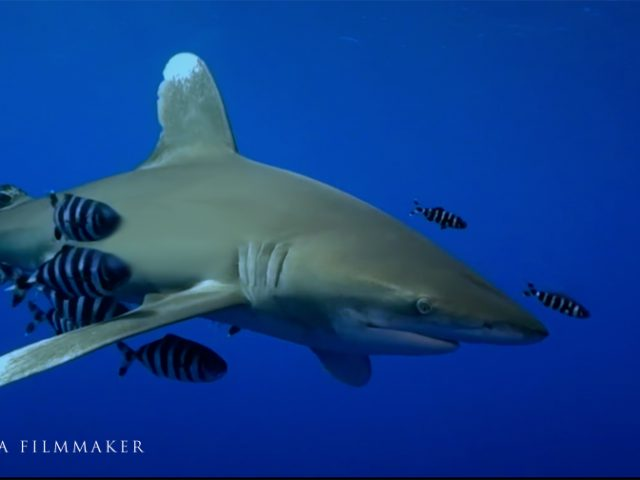 """The """"Oceanic Whitetip Shark"""" (Carcharhinus longimanus), also known as """"Brown Milbert's Sand Bar Shark"""", """"Brown Shark"""", """"Lesser White Shark"""", """"Nigano Shark"""", """"Oceanic White-Tipped Whaler"""", is a large pelagic requiem shark inhabiting tropical and warm temperate seas. Its stocky body is most notable for its long, white-tipped, rounded fins. The oceanic whitetip is found globally in deep, open oceans, with a temperature greater than 18 °C (64 °F). It spends most of its time in the upper layer of the ocean, to a depth of 150 m (490 ft) and prefers off-shore, deep-ocean areas. Longimanus' most distinguishing characteristics are its long, wing-like pectoral and dorsal fins. The fins are significantly larger than most other shark species, and are conspicuously rounded. The shark's nose is rounded and its eyes are circular, with nictitating membranes. It is bronze, brown, bluish, or grey dorsally (the colour varies by region), and white ventrally (although it may occasionally have a yellow tint). The oceanic whitetip shark is a medium-sized requiem shark. The largest specimen ever caught measured 4 m (13 ft). Recent studies show steeply declining populations because its large fins are highly valued as the chief ingredient of Cinese """"shark fin soup"""". (Wikipedia)"""