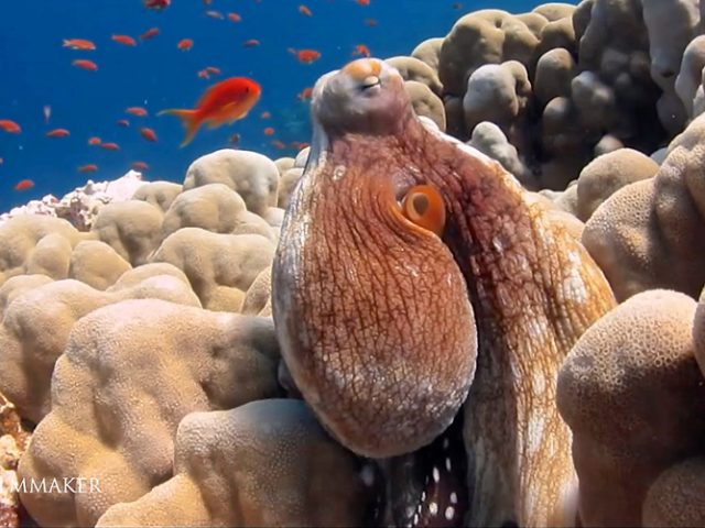"""The """"Octopus"""" is a soft-bodied, eight-limbed mollusc of the order """"Octopoda"""". Around 300 species are recognised, and the order is grouped within the class Cephalopoda with squids, cuttlefish, and nautiloids. Like other cephalopods, the octopus is bilaterally symmetric with two eyes and a beak, with its mouth at the center point of the eight limbs (traditionally called """"arms"""", sometimes mistakenly called """"tentacles""""). The soft body can rapidly alter its shape, enabling octopuses to squeeze through small gaps. They trail their eight appendages behind them as they swim. The siphon is used both for respirationand for locomotion, by expelling a jet of water. Octopuses have a complex nervous system and excellent sight, and are among the most intelligent and behaviourally diverse of all invertebrates. Octopuses inhabit various regions of the ocean, including coral reefs, pelagic waters, and the seabed; some live in the intertidal zone and others at abyssal depths. They use camouflage when hunting, and to avoid predators. To do this they use specialised skin cells (Chromatophores) which change the appearance of the skin by adjusting its colour, opacity, or reflectivity. This colour-changing ability is also used to communicate with or warn other octopuses. Octopuses that are diurnal and live in shallow water have evolved more complex skin than their nocturnal and deep-sea counterparts. (Wikipedia)"""