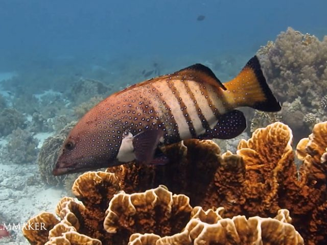 """""""Cephalopholis Argus"""", also known """"Bluespotted Grouper"""" and """"Celestial Grouper"""", is a fish from the Indo-Pacific which is variously a commercial gamefish, an invasive species, and occasionally an aquarium resident. This is a medium-sized fish that can reach a length of 60 centimeters (24 in). Small individuals are dark brown with hundreds of small, dark-edged iridescent blue spots. Larger specimens sometimes develop four to six lighter vertical bars on the back half of its body. The species is extremely widely distributed, occurring in warm waters from the Red Sea to South Africa and east to French Polynesia and the Pitcairn group. It is also present in northern Australia, Lord Howe Island, and Japan, and has been introduced to the Hawaiian Islands. It makes use of a variety of habitats but prefers the exposed fronts of reefs, at depths of up to 40 m. Hunting, they lie on the bottom and surge forward, preferring juvenile surgeonfish and crustaceans. Alternatively they may hover motionless in the water column before attacking. This grouper may follow and cooperate with another predator species, such as an octopus or eel or camouflage themselves in a school of surgeonfish. (Wikipedia)"""