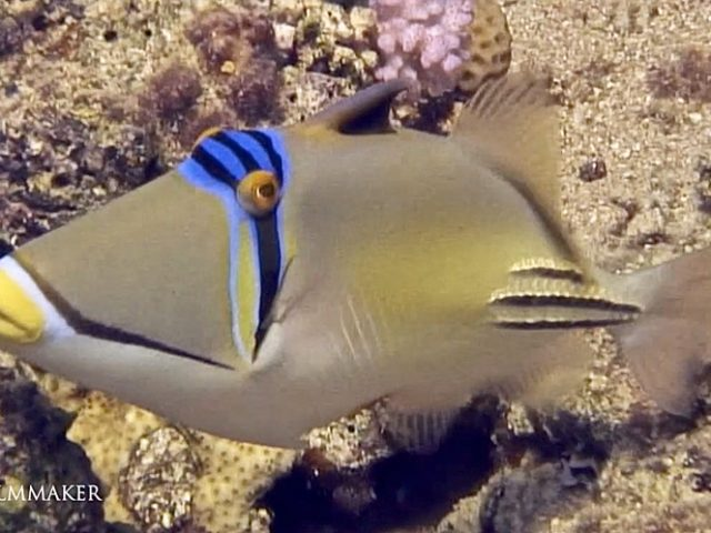 """The """"Picasso Triggerfish"""" (Rhinecanthus aculeatus), also known as the """"Lagoon Triggerfish"""", the """"Blackbar Triggerfish"""" and the """"Picassofish"""", is a triggerfish, up to 30 cm in length, found on reefs in the Indo-Pacific region. They live in the reefs and sandy areas of coral reefs where it eats just about everything that comes along. They are always restlessly swimming around and can vigorously protect their territory against intruders, including divers, especially when guarding their eggs during reproduction season. Their territory extends in a cone from the nest toward the surface, so swimming upwards can put a diver further into the fish's territory; a horizontal swim away from the nest site is best when confronted by an angry triggerfish. The rather bizarre anatomy of the triggerfishes reflects their typical diet of slow-moving, bottom dwelling crustaceans, mollusks, sea urchins and other echinoderms, generally creatures with protective shells and spines. Many will also take small fish. (Wikipedia)"""