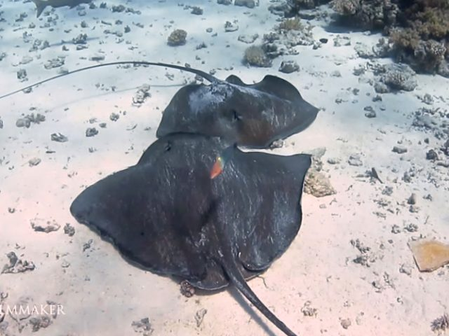 The pink whipray (Himantura fai) is a species of stingray in the family Dasyatidae, with a wide but ill-defined distribution in the tropical Indo-Pacific from southern Africa to Polynesia. It is a bottom dweller that generally inhabits shallow water under 70 m (230 ft) deep, in sandy areas associated with coral reefs. It has a diamond-shaped pectoral fin disc wider than long, with a broad-angled snout and a very long, whip-like tail without fin folds. It has only a few small thorns on its back and is uniform brownish to grayish pink in color, becoming much darker past the tail sting. This large ray can reach 1.8 m (5.9 ft) across and over 5 m (16 ft) long. It preys mainly on prawns, but also consumes other benthic invertebrates and bony fishes. When resting, up to ten individuals may pile atop one another, sometimes mixing with other species. (Wikipedia)