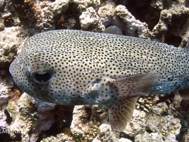 """""""Porcupinefish"""" are fish belonging to the family """"Diodontidae"""" (order """"Tetraodontiformes""""), also commonly called """"Blowfish"""" and, sometimes, """"Balloonfish"""" and """"Globefish"""". Porcupinefish are medium- to large-sized fish, and are found in shallow temperate and tropical seas worldwide. A few species are found much further out from shore, wherein large schools of thousands of individuals can occur. They are generally slow. They have the ability to inflate their bodies by swallowing water or air, thereby becoming rounder. This increase in size (almost double vertically) reduces the range of potential predators to those with much bigger mouths. A second defense mechanism is provided by the sharp spines, which radiate outwards when the fish is inflated. Some species are poisonous, having a tetrodotoxin in their internal organs, such as the ovaries and liver. This neurotoxin is at least 1200 times more potent than cyanide. The poison is produced by several types of bacteria obtained from the fish's diet. As a result of these three defenses, porcupinefish have few predators, although adults are sometimes preyed upon by sharks and killer whales. (Wikipedia)"""