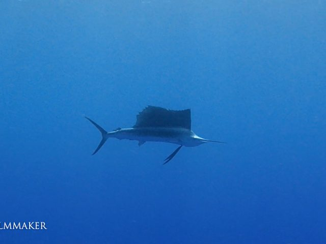 """A """"Sailfish"""" is a fish of the genus Istiophorus of billfish living in colder areas of all the seas of the earth. They are predominantly blue to gray in colour and have a characteristic erectile dorsal fin known as a sail, which often stretches the entire length of the back. Another notable characteristic is the elongated bill, resembling that of the swordfish and other marlins. Generally, sailfish do not grow to more than 3 m (9.8 ft) in length and rarely weigh over 90 kg (200 lb). Sailfish have been reported to use their bills for hitting schooling fish by tapping (short-range movement) or slashing (horizontal large-range movement) at them. The sail is normally kept folded down when swimming and raised only when the sailfish attack their prey. The raised sail has been shown to reduce sideways oscillations of the head, which is likely to make the bill less detectable by prey fish. This strategy allows sailfish to put their bills close to fish schools or even into them without being noticed by the prey before hitting them. (Wikipedia)"""