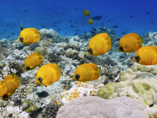 """The """"Masked Butterflyfish"""" or """"Blue-Cheeked Butterflyfish"""", """"Chaetodon Semilarvatus"""", is a species of butterflyfish (family Chaetodontidae). It is found in the Red Sea and the Gulf of Aden, at depths of between 3 and 20 m. Its length is up to 13 cm (5.1 in). It is mostly yellow, with thin slate blue vertical lines on the sides and a slate blue cheek patch in lieu of the usual black eyestripe of most Chaetodon. This species is one of the few fish species to have long-term mates. In the wild, the fish eats hard corals as well as benthic invertebrates. (Wikipedia)"""