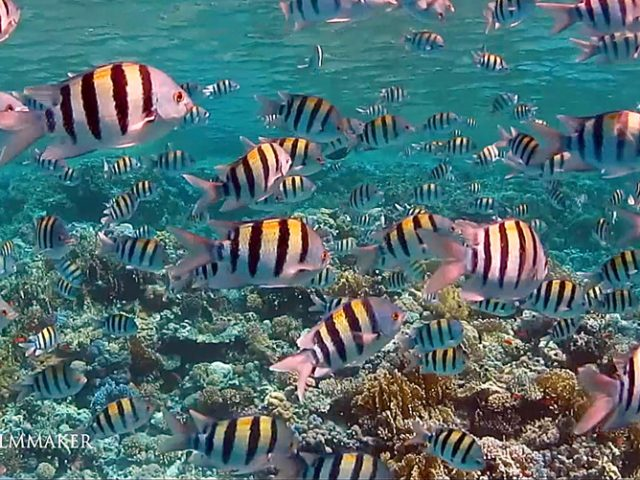"""The """"Sergeant Major"""" or """"Píntano"""" (Abudefduf saxatilis) is a species of damselfish. It grows to a maximum length of about 22.9 centimetres (9.0 in). Sergeant majors earn their name from its brightly striped sides, known as bars, which are reminiscent of the insignia of a military sergeant major. Abudefduf saxatilis is found in the Atlantic Ocean. Populations in the western part of the Atlantic Ocean are found from the north eastern coast of the United States south to the Gulf of Mexico, the Bahamas, islands around the Caribbean Sea, the eastern coast of Central and South America all the way to Uruguay, Red Sea. Adult males have a more bluish coloration and its stripes are less visible. There is a dark spot around its pectoral fin. This fish feed upon the larvae of invertebrates, zooplankton, smaller fish, crustaceans, and various species of algae. Individuals of this species form aggregations of about several hundreds of individuals. (Wikipedia)"""