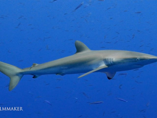 """The """"Silky Shark"""" (Carcharhinus falciformis), also known by numerous names such as """"Blackspot Shark"""", """"Grey Whaler Shark"""", """"Olive Shark"""", is a species of requiem shark, in the family Carcharhinidae, named for the smooth texture of its skin. It is one of the most abundant sharks in the pelagic zone, and can be found around the world in tropical waters. Highly mobile and migratory, this shark is most often found over the edge of the continental shelf down to 50 m (164 ft). The silky shark has a slender, streamlined body and typically grows to a length of 2.5 m (8 ft 2 in). It can be distinguished from other large requiem sharks by its relatively small first dorsal fin with a curving rear margin, its tiny second dorsal fin with a long free rear tip, and its long, sickle-shaped pectoral fins. It is a deep, metallic bronze-gray above and white below. With prey often scarce in its oceanic environment, the silky shark is a swift, inquisitive, and persistent hunter. It feeds mainly on bony fish and cephalopods, and has been known to drive them into compacted schools before launching open-mouthed, slashing attacks. This species often trails schools of tuna, a favored prey. Its sense of hearing is extremely acute, allowing it to localize the low-frequency noises generated by other feeding animals, and, by extension, sources of food. The silky shark is viviparous. The large size and cutting teeth of the silky shark make it potentially dangerous, and it has behaved aggressively towards divers. However, attacks are rare, as few humans enter its oceanic habitat. (Wikipedia)"""