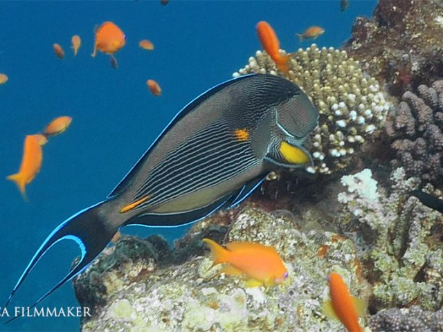 The sohal surgeonfish (Acanthurus sohal) or sohal tang, is a Red Sea endemic which grows to 16 in (40 cm) in the wild. Its striking blue and white horizontal stripes have made it what many consider the 'poster fish' for the Red Sea reef environment. Like other tangs, the sohal tang is compressed laterally, making it extremely maneuverable and fast along the reef. It has a horizontal, blade-like spine along the base of its tail on both sides, which folds into the fish, pointing anteriorly towards the head. During defense and aggression, tangs flick the spine at other fish or intruders, causing physical harm. The surgeonfish are named for this scalpel-like spine. Its primary diet consists mostly of vegetable matter, but occasionally includes the flesh of other animals. Sohal tang range includes all reef environments in the Red Sea, to 90 ft or deeper. It is one of the most aggressive tangs and combined with its large size for a tang, is a dominant fish along the Red Sea reef. (Wikipedia)