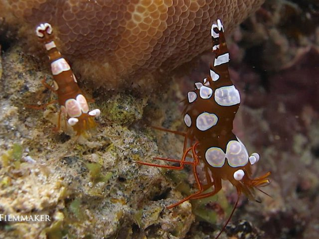 """""""Thor amboinensis"""", commonly known as the """"Squat Shrimp"""", is a species of shrimp found across the Indo-West Pacific, in parts of the Atlantic Ocean and the Red Sea. It lives symbiotically on corals, sea anemones and other marine invertebrates in shallow reef communities. It's a small shrimp growing to a length of about 13 millimetres (0.5 in), olive brown colour with symmetrically placed white patches edged with thin blue lines. It characteristically carries its abdomen curved upwards with its tail fan above its head. (Wikipedia)"""