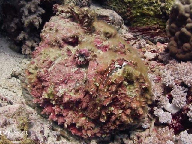 """The """"Stonefish"""", genus """"Synanceia"""", whose members are dangerously venomous and even fatal to humans. They have potent neurotoxins secreted from glands at the base of their needle-like dorsal fin spines which stick up when disturbed or threatened. The vernacular name of the species, the stonefish, derives from its grey and mottled camouflage similar to the color of a stone (corals). Swimmers may not notice them and inadvertently step on them, triggering a sting. When the stonefish is disturbed, it may inject an amount of venom proportional to the amount of pressure applied to it. They are found in the coastal regions of the Indo-Pacific and the Red Sea, they eat mostly small fish, shrimps and other crustaceans. (Wikipedia)"""