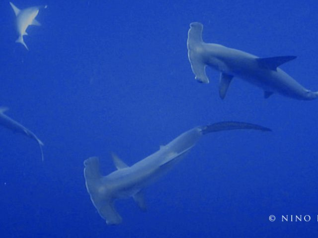 """The """"Hammerhead Sharks"""" are a group of sharks in the family """"Sphyrnidae"""", so named for the unusual and distinctive structure of their heads, which are flattened and laterally extended into a """"hammer"""" shape called a cephalofoil. Most hammerhead species are placed in the genus """"Sphyrna"""", while the winghead shark is placed in its own genus, """"Eusphyra"""". Many, but not necessarily mutually exclusive, functions have been proposed for the cephalofoil, including sensory reception, manoeuvering, and prey manipulation. Hammerheads are found worldwide in warmer waters along coastlines and continental shelves. Unlike most sharks, hammerheads usually swim in schools during the day, becoming solitary hunters at night. Some of these schools can be found near Malpelo Island in Colombia, the Galapagos Islands in Ecuador, Cocos Island off Costa Rica and near Molokai in Hawaii. Large schools are also seen in the waters off southern and eastern Africa and in the Red Sea. Hammerhead sharks are known to eat a large range of prey such as fish (including other sharks), squid, octopus, and crustaceans. Stingrays are a particular favorite. These sharks are often found swimming along the bottom of the ocean, stalking their prey. Their unique heads are used as a weapon when hunting down prey. The hammerhead shark uses its head to pin down stingrays and eats the ray when the ray is weak and in shock. The great hammerhead, tending to be larger and more aggressive than most hammerheads. (Wikipedia)"""