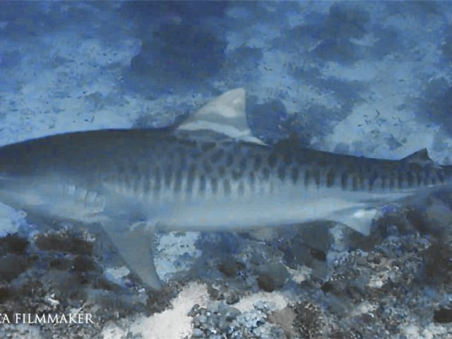 """The tiger shark (Galeocerdo cuvier) is a species of requiem shark and the only extant member of the genus Galeocerdo. It is a large macropredator, capable of attaining a length over 5 m (16 ft 5 in). Populations are found in many tropical and temperate waters, especially around central Pacific islands. Its name derives from the dark stripes down its body, which resemble a tiger's pattern, but fade as the shark matures. Tiger shark teeth are unique with very sharp, pronounced serrations and an unmistakable sideways-pointing tip. Such dentition has developed to slice through flesh, bone and other tough substances such as turtle shells. Like most sharks, its teeth are continually replaced by rows of new teeth throughout the shark's life. It is a solitary, mostly nocturnal hunter. Tiger shark notable for having the widest food spectrum of all sharks, with a range of prey that includes crustaceans, fish, seals, birds, squid, turtles, sea snakes, dolphins and even other smaller sharks. It also has a reputation as a """"garbage eater"""", consuming a variety of inedible, man-made objects that linger in its stomach. Though apex predators, tiger sharks are sometimes taken as prey by groups of killer whales. It is considered a near threatened species due to finning and fishing by humans. It is second only to the great white in recorded fatal attacks on humans. (Wikipedia)"""