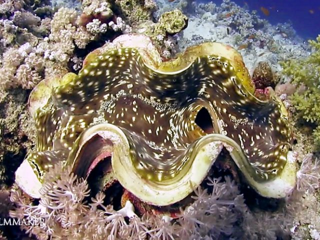 """""""Tridacna"""" is a genus of large saltwater clams, marine bivalve mollusks in the subfamily Tridacninae, the giant clams. They have heavy shells, fluted with 4 to 6 folds, when disturbed, the clam closes its shell. The mantle is brightly coloured; they live in symbiosis with photosynthetic algae (zooxanthellae). Tridacna clams are common inhabitants of Indo-Pacific coral reef benthic communities in shallower waters. (Wikipedia)"""
