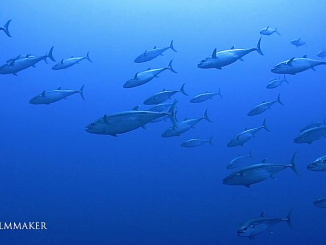 """A """"Tuna"""" is a saltwater fish that belongs to the tribe """"Thunnini"""", a subgrouping of the Scombridae (mackerel) family. The Thunnini comprise 15 species across five genera, the sizes of which vary greatly, ranging from the bullet tuna (max. length: 50 cm (1.6 ft), weight: 1.8 kg (4 lb)) up to the Atlantic bluefin tuna (max. length: 4.6 m (15 ft), weight: 684 kg (1,508 lb)). The bluefin averages 2 m (6.6 ft), and is believed to live up to 50 years. Tuna, opah, and mackerel sharks are the only species of fish that can maintain a body temperature higher than that of the surrounding water. An active and agile predator, the tuna has a sleek, streamlined body, and is among the fastest-swimming pelagic fish – the yellowfin tuna, for example, is capable of speeds of up to 75 km/h (47 mph). It has two closely spaced dorsal fins on its back; The first is """" epressible"""", it can be laid down, flush, in a groove that runs along its back. Seven to ten yellow finlets run from the dorsal fins to the tail, which is lunate, curved like a crescent moon and tapered to pointy tips. The caudal peduncle, to which the tail is attached, is quite thin, with three stabilizing horizontal keels on each side. The tuna's dorsal side is generally a metallic dark blue, while the ventral side, or underside, is silvery or whitish, for camouflage. (Wikipedia)"""