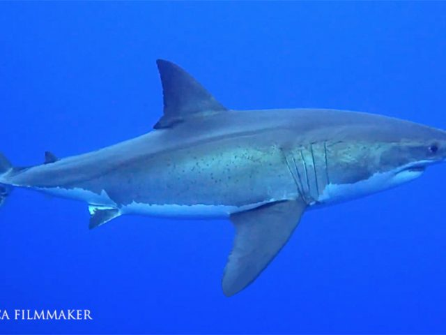 The great white shark (Carcharodon carcharias), also known as the great white and white shark, is a species of large mackerel shark which can be found in the coastal surface waters of all the major oceans. It is notable for its size, with larger female individuals growing to 6.1m. in length and 1,905–2,268 kg in weight at maturity. The great white shark has a robust, large, conical snout. The upper and lower lobes on the tail fin are approximately the same size which is similar to some mackerel sharks. Great white sharks, like many other sharks, have rows of serrated teeth behind the main ones, ready to replace any that break off. When the shark bites, it shakes its head side-to-side, helping the teeth saw off large chunks of flesh. It can swim at speeds of 25 km/hr (16 mph) for short bursts and to depths of 1,200 m (3,900 ft). Great white is one of the primary predators of marine mammals, up to the size of large baleen whales, it is also known to prey upon a variety of other marine animals, including fish and seabirds. It is the only known surviving species of its genus Carcharodon, and is responsible for more recorded human bite incidents than any other shark. The species faces numerous ecological challenges that have led to international protection, it is also protected by several national governments such as Australia. (Wikipedia)