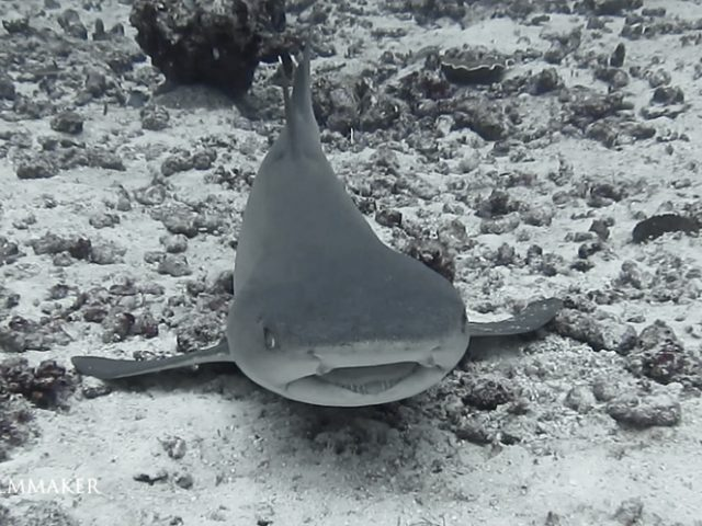 """The """"Whitetip Reef Shark"""" (Triaenodon obesus) is a species of requiem shark, in the family Carcharhinidae, and the only member of its genus. A small shark usually not exceeding 1.6 m (5.2 ft) in length, this species is easily recognizable by its slender body and short but broad head, as well as tubular skin flaps beside the nostrils, oval eyes with vertical pupils, and white-tipped dorsal and caudal fins. One of the most common sharks found on Indo-Pacific coral reefs, the whitetip reef shark occurs as far west as South Africa and as far east as Central America. It is typically found on or near the bottom in clear water, at a depth of 8–40 m (26–131 ft). During the day, whitetip reef sharks spend much of their time resting inside caves. Unlike other requiem sharks, which rely on ram ventilation and must constantly swim to breathe, this shark can pump water over its gills and lie still on the bottom. At night, whitetip reef sharks emerge to hunt bony fish, crustaceans and octopus in groups. Their elongate bodies allowing them to force their way into crevices and holes to extract hidden prey. Individuals may stay within a particular area of the reef for months or years, frequently returning to the same shelter. This species is viviparous. Whitetip reef sharks are rarely aggressive towards humans, though they may investigate swimmers closely. (Wikipedia)"""