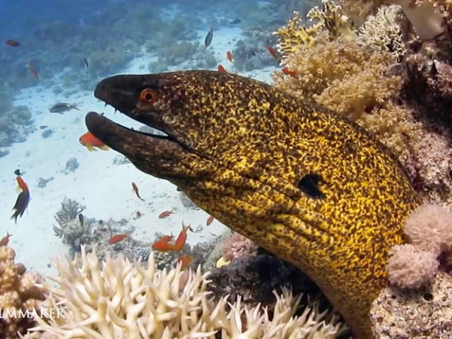 """The """"Yellow-Edged Moray"""" (Gymnothorax flavimarginatus) is a moray eel of the family Muraenidae. Its length is up to 7.87 feet (240 cm). It is brown with fine yellow mottling, orange eye. Inhabits reef and lagoon. Often with only head protruding. It feeds on small fish and crustaceans. This moray eel was recently identified as natural predator of the lionfish Pterois miles in its native habitat in the Red Sea. (Wikipedia)"""