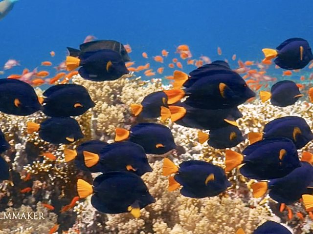 """""""Zebrasoma Xanthurum"""", """"Purple Tang"""", is a species of reef surgeonfish in the family Acanthuridae. Purple tangs grow to a maximum length of near 25 cm (9.8 in). Their bodies are purple in color with a yellow tail. The heads of purple tangs are covered with black spots, and black horizontal lines run down the sides of the bodies of some specimens. The center of their bodies are sometimes a darker color of purple relative to the rest of their bodies. On most specimens, the tips of their pectoral fins are yellow. Like all members of the genus Zebrasoma, purple tangs have large dorsal and anal fins and an extended snout that is used to forage for algae within rocks. When the dorsal and anal fins are fully extended, the fish looks like a disk. As typical of all surgeonfish, purple tangs have a sharp spines on each side of their caudal peduncle, which are used for defense. It has been historically noted that purple tangs are only found in the Red Sea, but it has now been understood that this is not completely true. Purple tangs have now been found in the Gulf of Aden, Persian Gulf, and the Arabian Sea. Purple tangs typically inhabit coral reef ecosystems, where they are found eating filamentous algae in the reef. They have been found at depths ranging from 2 to 20 m (6.6 to 65.6 ft). Adults are typically found swimming in shoals, while juveniles remain solitary. (Wikipedia)"""