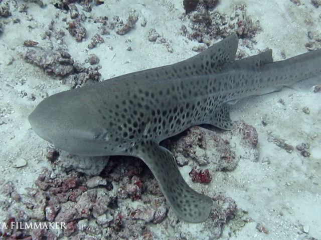 """Or """"Leopard Shark"""" (Stegostoma fasciatum) is a species of carpet shark and the sole member of the family """"Stegostomatidae"""". It is found throughout the tropical Indo-Pacific, frequenting coral reefs and sandy flats to a depth of 62 m (203 ft). Adult zebra sharks are distinctive in appearance, with five longitudinal ridges on a cylindrical body, a low caudal fin comprising nearly half the total length, and a pattern of dark spots on a pale background. Young zebra sharks under 50–90 cm (20–35 in) long have a completely different pattern, consisting of light vertical stripes on a brown background, and lack the ridges. This species attains a length of 2.5 m (8.2 ft). Zebra sharks are nocturnal and spend most of the day resting motionless on the sea floor. At night, they actively hunt for molluscs, crustaceans, small bony fish and possibly sea snakes inside holes and crevices in the reef. Though solitary for most of the year, they form large seasonal aggregations. The zebra shark is oviparous: females produce several dozen large egg capsules, which they anchor to underwater structures via adhesive tendrils. (Wikipedia)"""