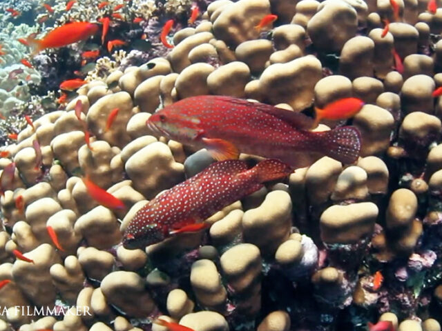 Cephalopholis miniata, coral grouper, coral hind, coral rock cod, coral cod, coral trout, round-tailed trout or vermillion seabass is a species of marine ray-finned fish, a grouper from the subfamily Epinephelinae which is in the family Serranidae which also includes the anthias and sea basses. It is associated with coral reefs and occurs in the Indo-Pacific. The colour of the body is orange-red to reddish brown with many small bright blue spots which cover the head, body and the dorsal, anal and caudal fins. They attain a maximum total length of 50 centimetres (20 in). Coral Grouper is found in clear water where there are coastal and offshore coral reefs, it prefers exposed rather than protected areas. It is often seen in caves and below ledges. The remainder of its diet consists of crustaceans. (Wikipedia)
