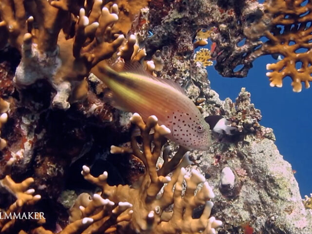 The black-sided hawkfish, freckled hawkfish or Forster's hawkfish (Paracirrhites forsteri), is a species of hawkfish from the Indo-Pacific; Its range extends from East Africa and the Red Sea to Japan, New Caledonia and Australasia. The hawkfish reaches to a maximum total length of about 22 cm (9 in). The dorsal fin has ten spines and eleven soft rays. There is considerable variation in the colouring both among adults and as a result of changes during growth; the main colour is usually yellowish but there is a broad black or dark brown lateral band, mainly on the rear half of the body. The sides of the head and the front of the body are whitish or grey with red speckles. Forster's hawkfish is found on the seaward side of reefs and on soft-bottomed lagoons to depths of 30 m (100 ft) and more; it is an ambush predator; it usually lies in wait on a head of coral, propped up by its stiff pectoral fins, ready to dart out at passing crustaceans or small fish. It is mainly a solitary fish. (Wikipedia)