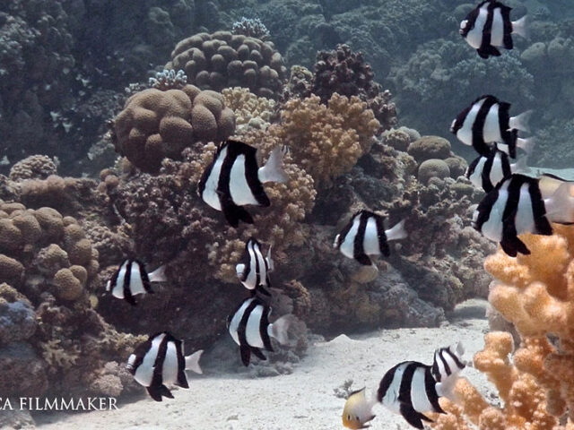Dascyllus aruanus, known commonly as the whitetail dascyllus or humbug damselfish among other vernacular names, is a species of marine fish in the family Pomacentridae. It is up to 10 centimetres (3.9 in) in length but its common size is 6 centimetres (2.4 in) and is white with three black vertical bars. Associated with coral reefs, most usually in groups above Acropora coral heads. Males may be aggressive against other fish while they tend eggs. Whitetail dascyllus is widespread throughout the tropical waters of the Indo-Pacific region, Red Sea included. (Wikipedia)